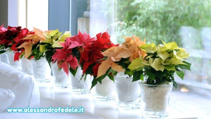 Le belle piante di Natale nascondono insidie e pericoli