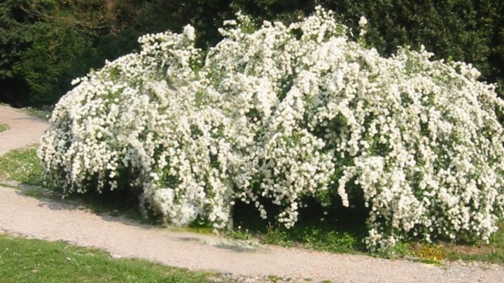 Una pianta meravigliosa: il Biancospino